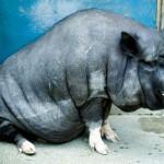 黒豚ダイエット、携帯の待ち受けに「黒豚」を設定すると痩せる?